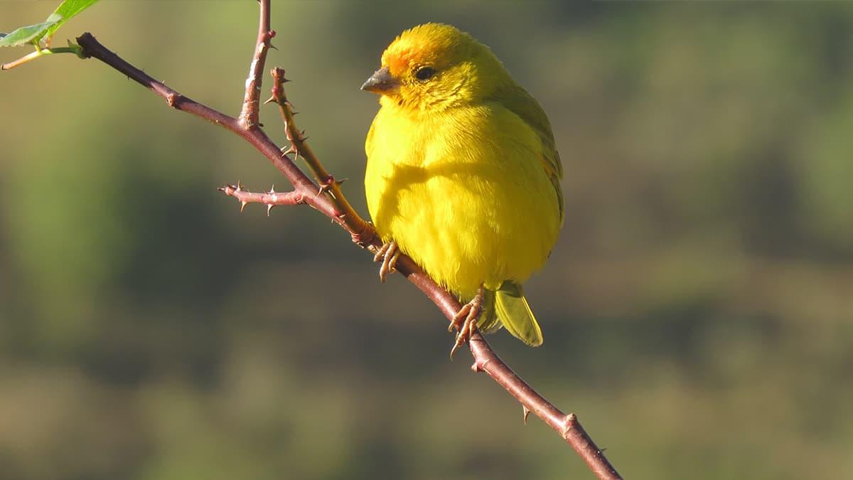 Curiosidades sobre canarios que seguramente no conoces