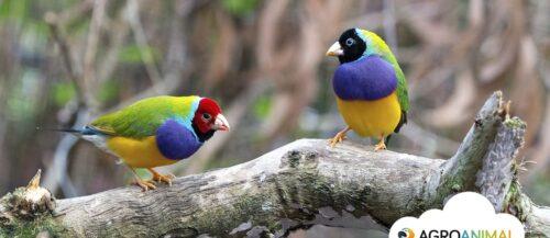 Aves ornamentales: Curiosidades sobre el diamante de gould