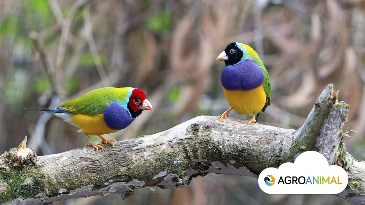 Aves ornamentales: diamante de gould