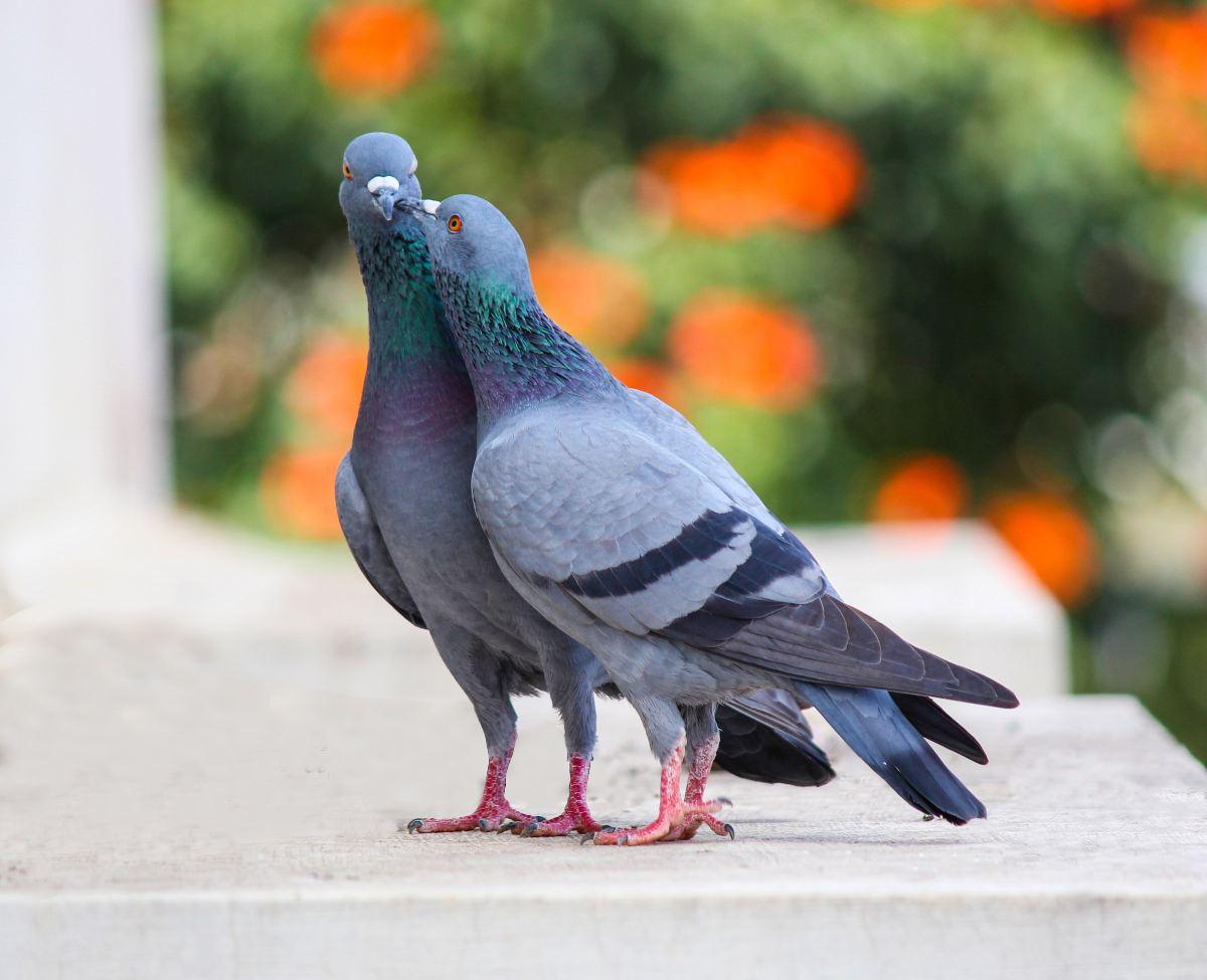 pareja palomas 3