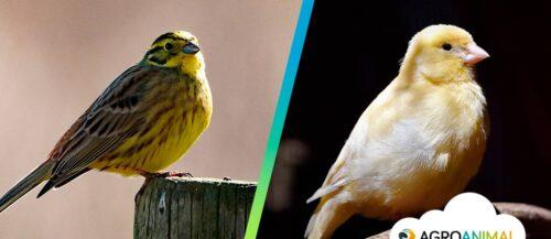 Canarios de color: lipocromos y melánicos