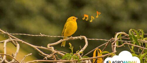 Los 3 mejores canarios de canto