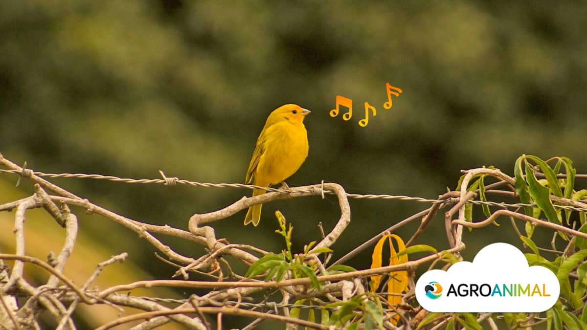 3 mejores canarios de canto