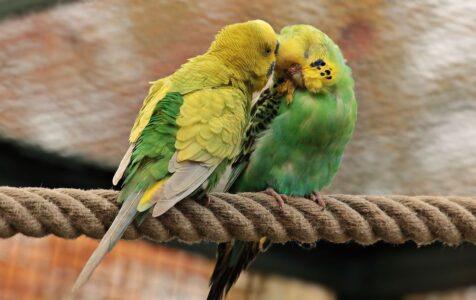 Pájaros en casa solos o en pareja