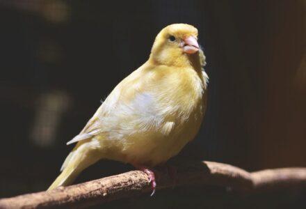 Qué es la canaricultura